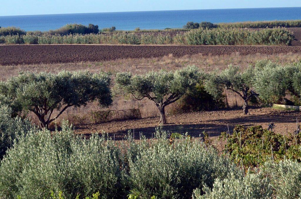 Champ d'olivier en Sicile
